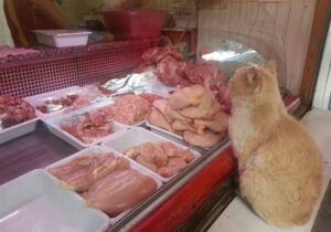 cat in a butcher shop